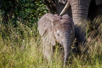 Baby Elephant in between the high grass.