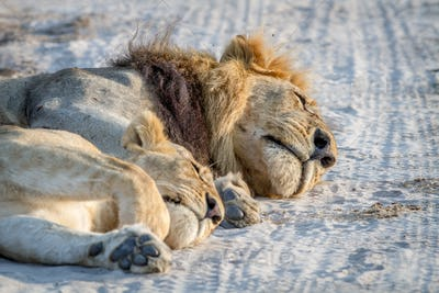 Close up of Lions laying in the sand.