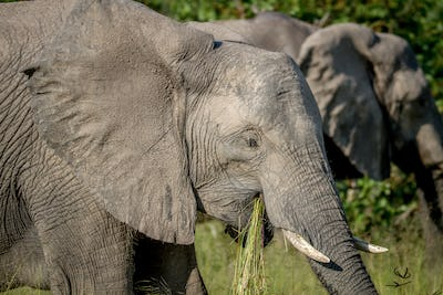 Elephant eating grass in Chobe.