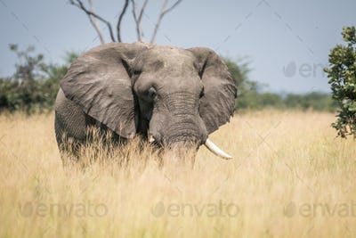 Big Elephant bull standing in the high grass.