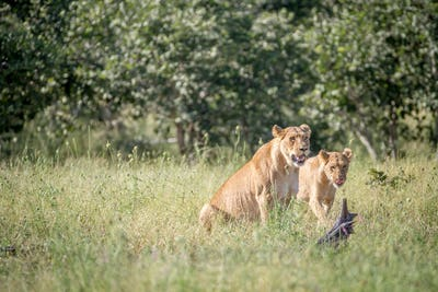 Two Lions in the grass in Chobe.