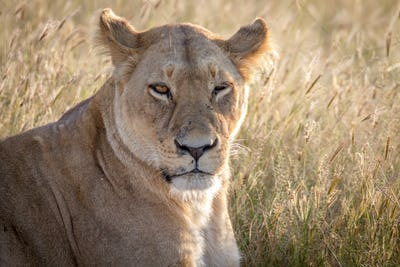 Close up of a female Lion in Chobe.