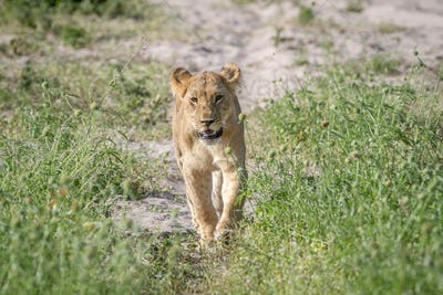 Lion walking towards the camera.