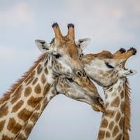 Close up of three Giraffes in Chobe.
