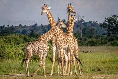 Group of Giraffes standing in the grass.