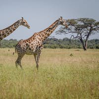 Two Giraffes walking in the grass.