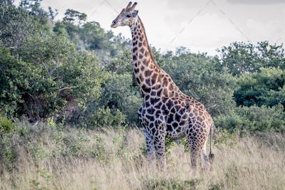 Giraffe standing in the grass.