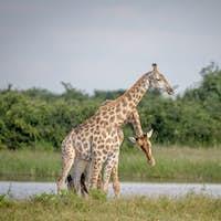 Two Giraffes necking in Chobe.