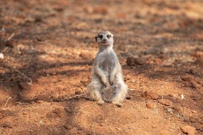 Female meerkat or suricate, Suricata suricatta