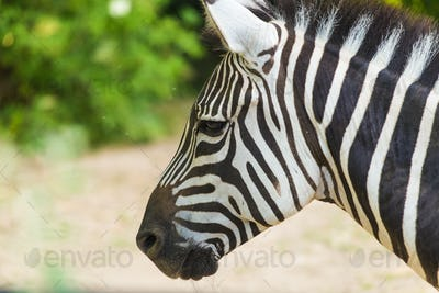 Zebra close up portrait. Wild animal in nature