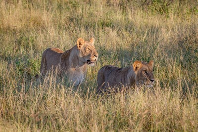 Two Lions walking in the high grass.