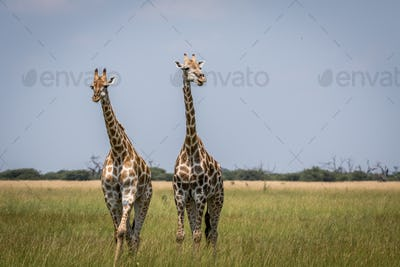 Two Giraffes starring at the camera in the Chobe National Park,