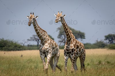 Two Giraffes walking in the grass.