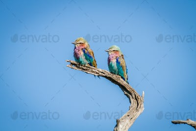 Two Lilac-breasted rollers sitting on a branch.