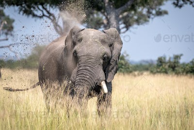 Big Elephant bull taking a dust bath.