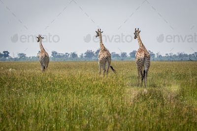 Journey of Giraffes walking away.