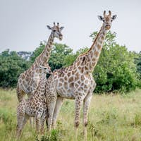 Two Giraffes starring at the camera.
