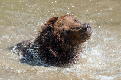Brown bear in a water