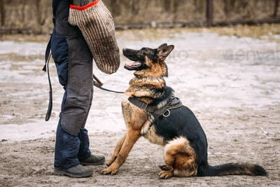 German Shepherd Dog Training. Alsatian Wolf Dog. Deutscher, Dog.