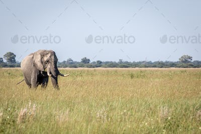 Elephant bull standing in the high grass.