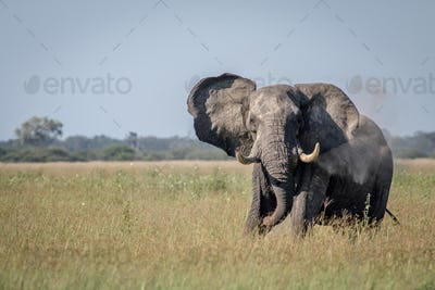 Big Elephant bull showing some attitude.