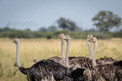 Close up of a group of Ostriches.