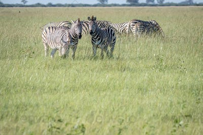 Group of Zebras standing in the grass.