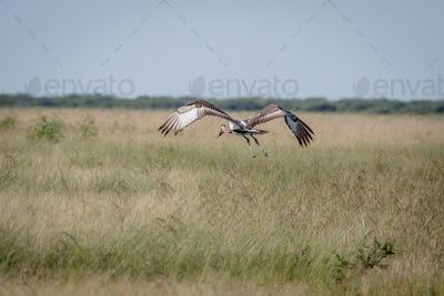 Juvenile Saddle-billed stork flying away.