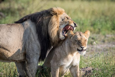 Lion mating couple standing in the grass.