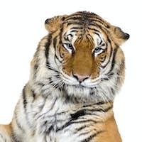 Tiger's face