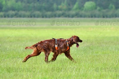Hunting with setter