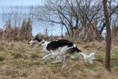 Running russian borzoi dog