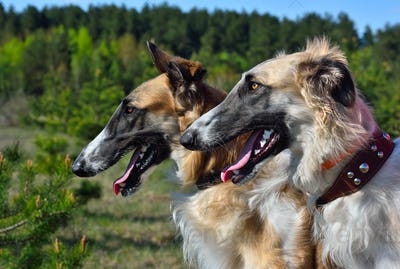 Two russian wolfhounds