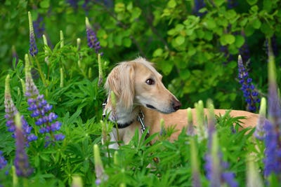 Portrate of borzoi dog