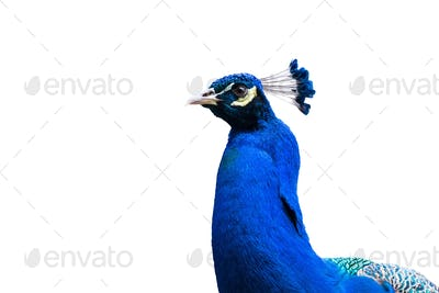 blue peacock isolated