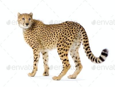 Cheetah standing up