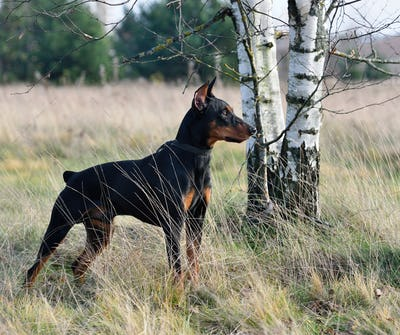 Tan-and-black German Pinscher