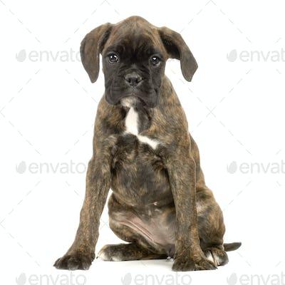 puppy Boxer