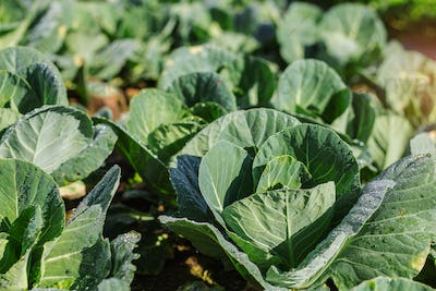 Cabbage with dew on the leaves