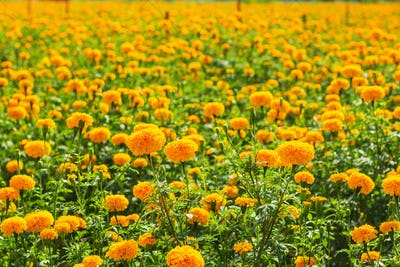 Marigold of the colorful