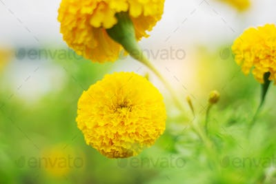 beauty marigold with blurred background