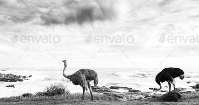 Ostrich Pair Beside Ocean Black and White
