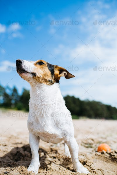 Funny dog Jack Russell Terrier on a sandy beach looking into the distance. Bottom view.
