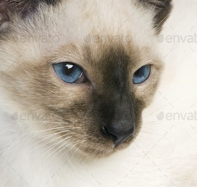 Young Siamese