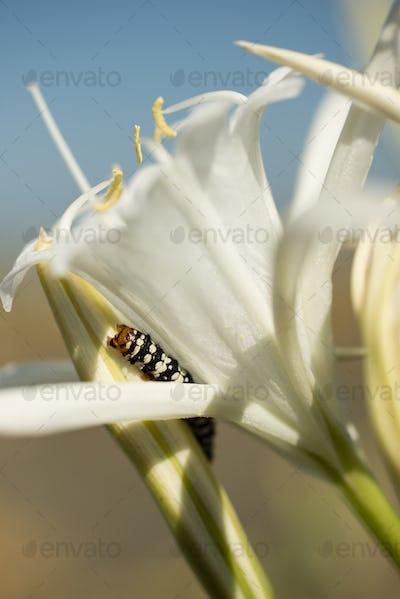 Caterpillar on sea daffodil