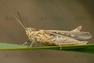 Grasshopper (Orthoptera) macro photo