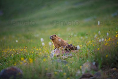 Yellow-bellied Marmot close-up Colorado Rocky Mountains