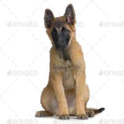Puppy Belgian Tervuren