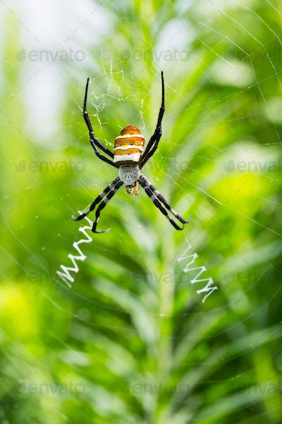 brightly coloured wasp spider closeup