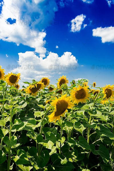 Field with sunflowers against the blue sky. Beautiful landscape